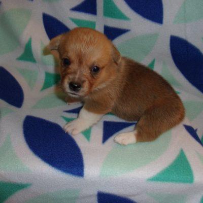 Toni's F1 - AKC Pembroke Welsh Corgi doggie for sale at Washburn, Missouri