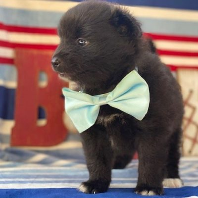 Max - Pomeranian male puppy for sale at Landenberg, Pennsylvania
