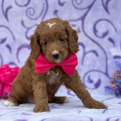 Laci - Cockapoo doggie for sale at Peachbottom, Pennsylvania