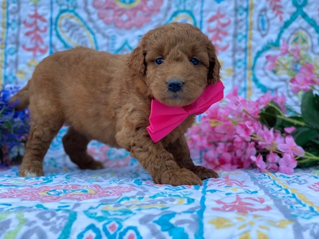 Millie - puppy Mini Double Doodle for sale near Nottingham, Pennsylvania