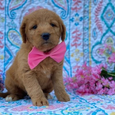 Lily - Mini Double Doodle female puppie for sale at Nottingham, Pennsylvania