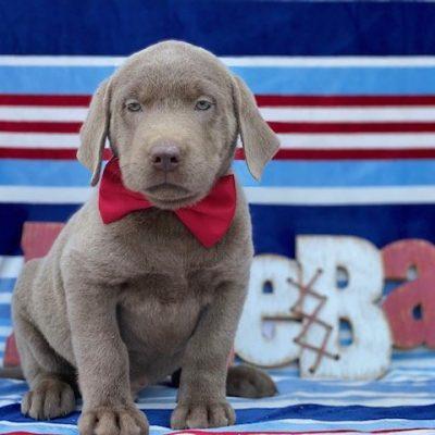 Romper - Laborador Retriever pup for sale at Nottingham, Pennsylvania