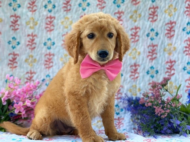 Wendi - f1b mini Labradoodle female puppie for sale near Kirkwood, Pennsylvania