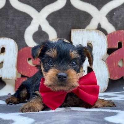 Timmy - Yorshire terrier puppy for sale at New Providence, Pennsylvania