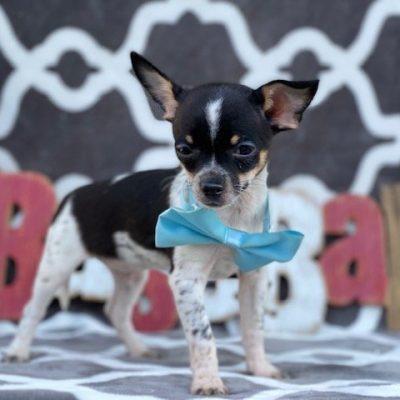 Norman - Chihuhua male doggie for sale near Quarryville, Pennsylvania