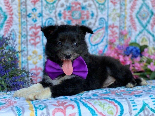 Sheila - Eskimo/Shelti cross female pupper for sale near Airville, Pennsylvania