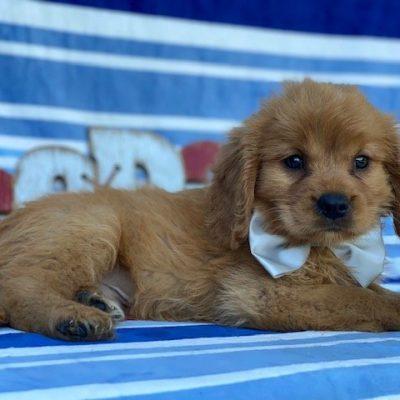 Muggles - mini Golden Retriever pup for sale at Narvon, Pennsylvania (Copy) (Copy)