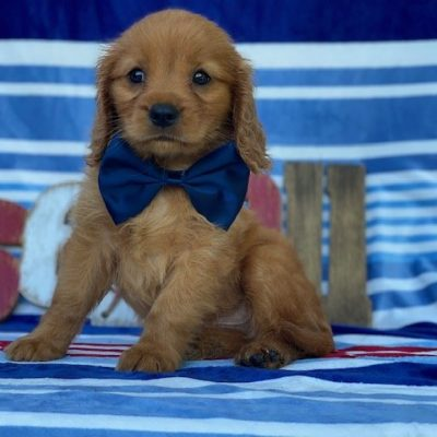 Andy - mini Golden Retriever pup for sale at Narvon, Pennsylvania (Copy)