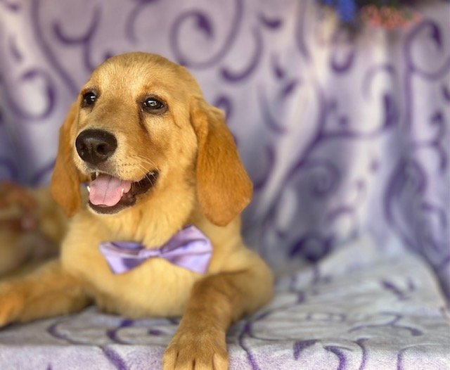 Star - Labrador Retriever puppy for sale at Honeybrook, Pennsylvania
