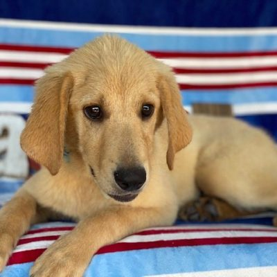 Charlie, yellow labrador retriever, honeybrook, pa (Copy)