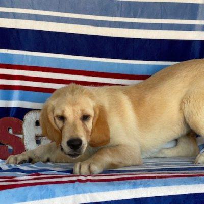 Buddy, yellow labrador retriever, honeybrook, pa (Copy) (Copy)