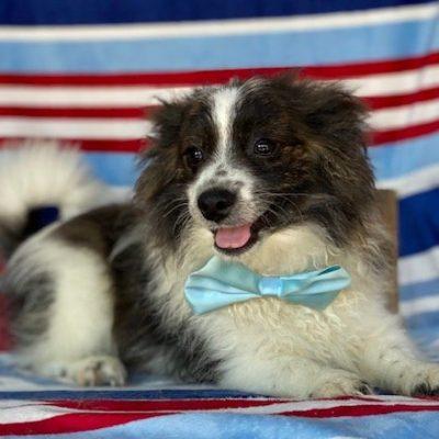 Melvin - Pomeranian puppy for sale in Honeybrook, Pennsylvania