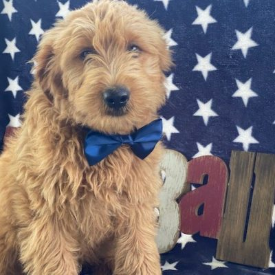 Nate - MIni f1 Goldendoodle female pupper for sale in Ronks, Pennsylvania