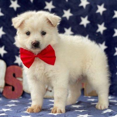Snowball - American Eskimo male puppie for sale in Airville, Pennsylvania (Copy) (Copy) (Copy)