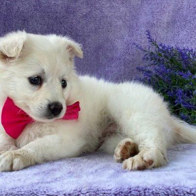Fran - American Eskimo male puppie for sale in Airville, Pennsylvania