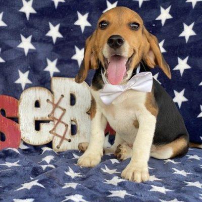 Jackson - male Beagle pupper for sale near Delta, Pennsylvania