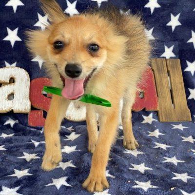 Benji - Pomeranian Mix male pup for sale at Delta, Pennsylvania