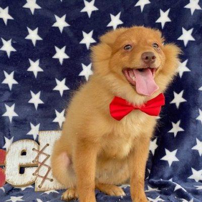 Oscar - Pomeranian Mix male puppy for sale in Delta, Pennsylvania