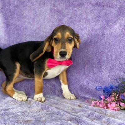 Daisy - Beagle female doggie for sale at Delta, Pennsylvania