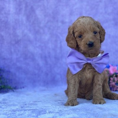 Doris - Cockapoo female pup for sale in Peachbottom, Pennsylvania
