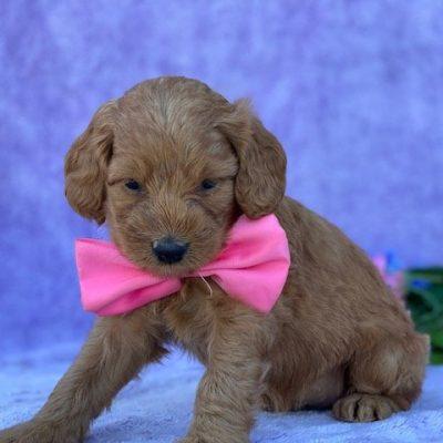 Cassie - Cockapoo puppie for sale near Peachbottom, Pennsylvania