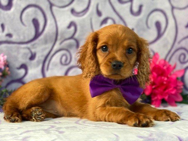 Mia- mini Golden Retriever pup for sale at Narvon, Pennsylvania (Copy)