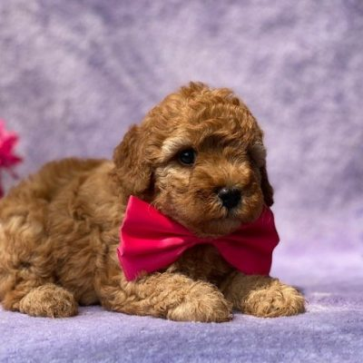 Fluffy- Cavapoo - Red Lion, PA (Copy) (Copy)