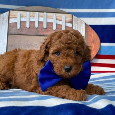 Toby- Cavapoo - Red Lion, PA (Copy)