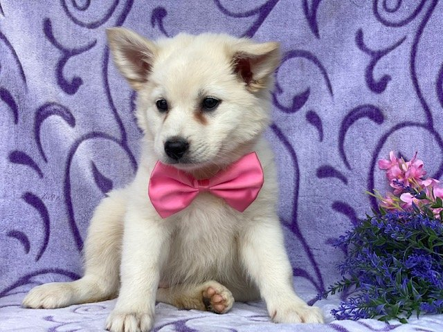 Ivory - American Eskimo pup for sale at Airville, Pennsylvania (Copy) (Copy)