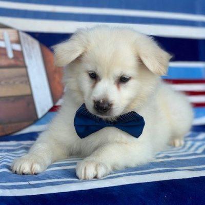 Samson - American Eskimo pup for sale at Airville, Pennsylvania (Copy)