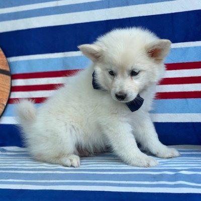 Griffin - American Eskimo male puppie for sale in Airville, Pennsylvania