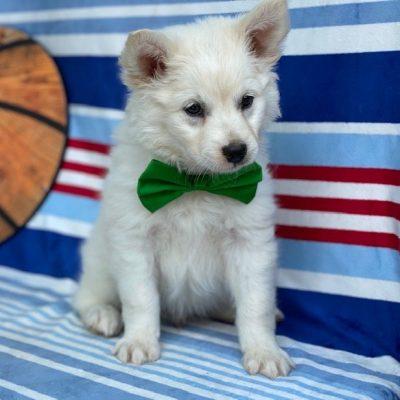 Sonny - American Eskimo male puppie for sale in Airville, Pennsylvania