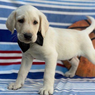 Champ - labrador retriever, yellow, Quarryville, PA (Copy) (Copy) (Copy) (Copy)