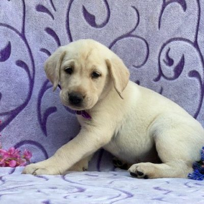 Stella - labrador retriever, yellow, Quarryville, PA (Copy) (Copy)