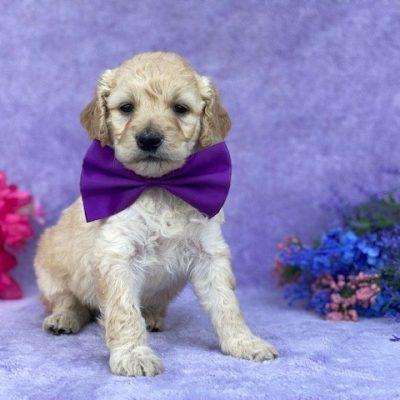 Rosie - Mini Double Doodle pupper for sale in Christiana, Pennsylvania (Copy) (Copy) (Copy) (Copy)