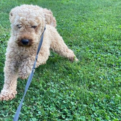Will - poodle - quarryville, pa