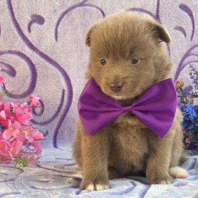 Gracie - pup Pomeranian female for sale in Landenberg, Pennsylvania