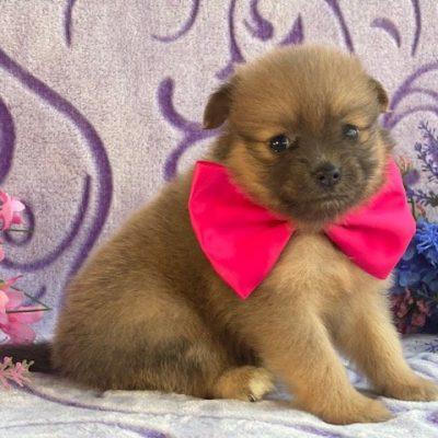 Sadie - Pomeranian female pupper for sale at Landenberg, Pennsylvania