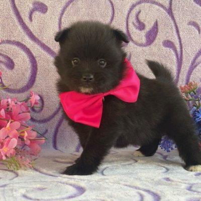Adam - Pomeranian male doggie for sale in Landenberg, Pennsylvania