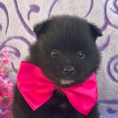 Apple - Pomeranian puppie for sale near Landenberg, Pennsylvania