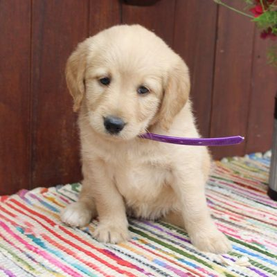 Kaitlyn * mini * - Labradoodle female pup for sale in Auburn, Indiana