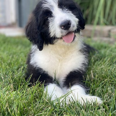 Coco - F1 Mini Bernedoodle female puppie for sale in Hudson, Indiana