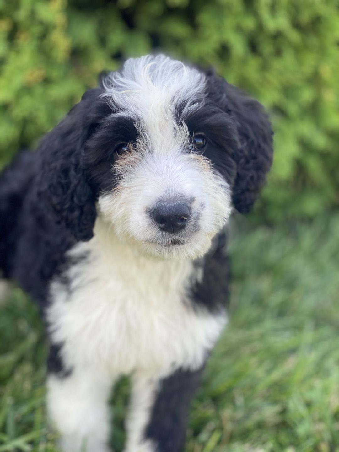 Zoey - doggie F1 Mini Bernedoodle female for sale at Hudson, Indiana