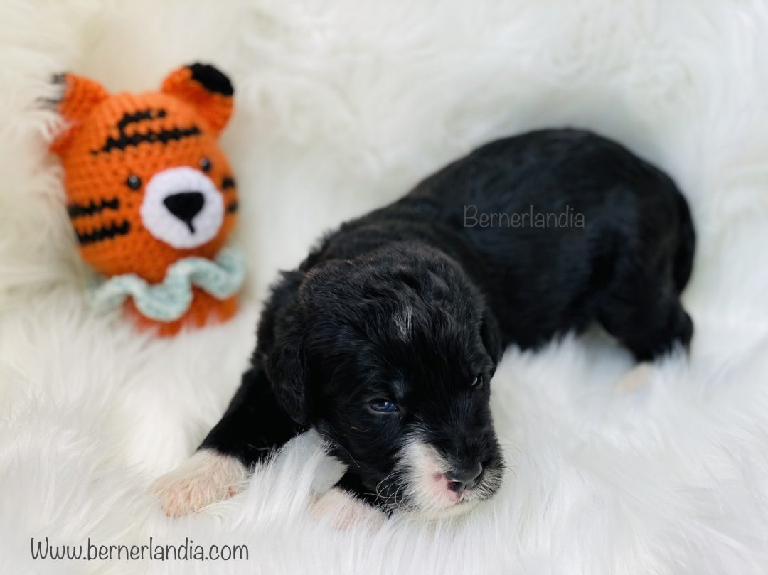Tiny Tony - Bernedoodle male puppy for sale in Sparta, Tennessee