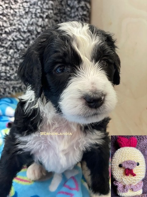 Chicken Little - Bernedoodle female puppie for sale in Sparta, Tennessee