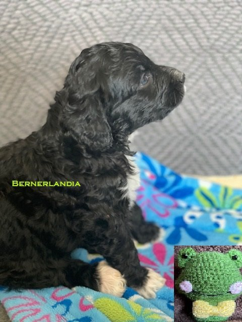 Hopps - Bernedoodle female pupper for sale near Sparta, Tennessee
