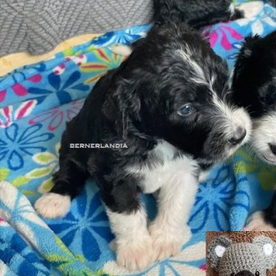 Joey - Bernedoodle female pup for sale at Sparta, Tennessee