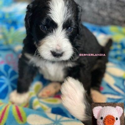 Piglet - female Bernedoodle doggie for sale at Sparta, Tennessee