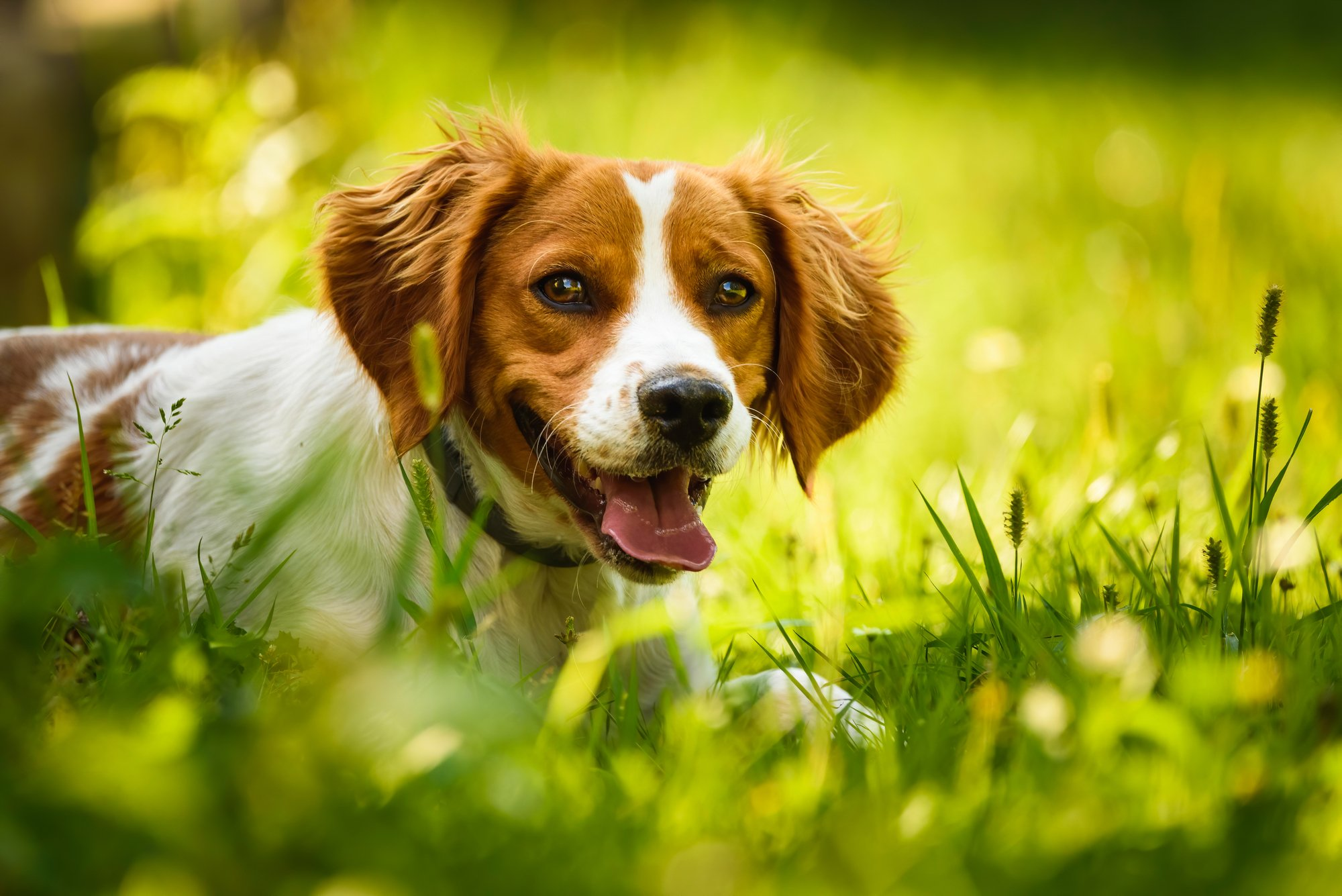 Brittany Spaniel dog lying in the grass in the sun.