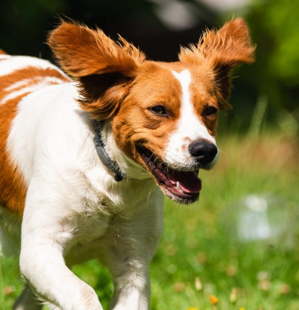 Brittany Dog Breed – Is a Brittany (Spaniel) Right for You?